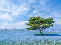 The Blue Universe Nemophila menziesii or Baby Blue Eyes Hitachi Seaside Park Japan
