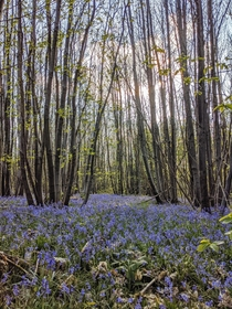 The bluebells are out in Kent UK