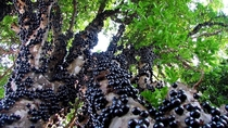 The Brazilian Jaboticaba tree Myrciaria cauliflora