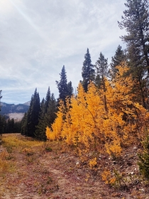 The changing aspens near Created Butte Colorado