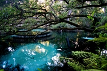 The clear blue waters of Fern Hammock Springs in the Ocala National Forest you can see the fish