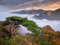 The cobra tree and unbelievably beautiful fog filled mountains Jebibong South Korea