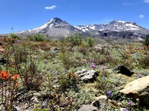 The colors of life thriving in the immediate Mount St Helens blast area
