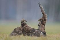 The Common Buzzards Buteo buteo in the fight or if you prefer in a dance