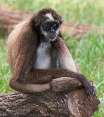 The critically endangered brown spider monkey Ateles hybridus