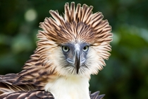 The Critically Endangered Philippine Eagle Pithecophaga jefferyi