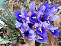 The crocus are blooming much earlier than last year