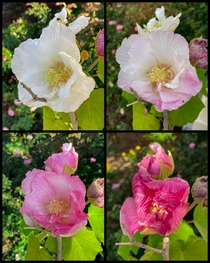 The Dixie Rose Mallow blooms start out white then turned more pink each day