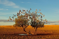 The Dreaming Tree - Strzelecki Desert Australia