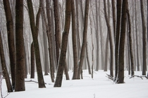 The eerie wintry forest of Mont Saint-Hilaire Quebec Canada