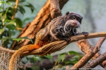 The Emperor tamarin is a diminutive primate species from Peru Bolivia and western Brazil locally threatened by deforestation This species is recognized by its amazing moustaches reminiscent of those from German emperor Wilhelm II