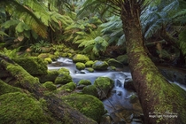 The enchanted forest on the walk to St Columba Falls in northeastern Tasmania Australia