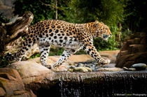 The endangered Amur Leopard Panthera pardus orientalis  Photo by Michael Turner