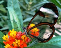 The Ethereal Glasswing Butterfly