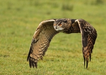 The Eurasian Eagle-Owl Bubo bubo in flight  Photo by Malcolm Paynter