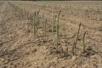 The exact opposite Asparagus field x