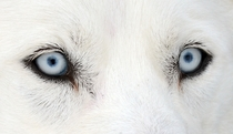 The eyes of a Husky