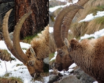 The eyes of an ibex Capra ibex rotate on  axis