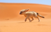 The Fennec desert fox Which Inhabits The Sahara Desert And Arabia By Francisco Mingorance