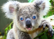 The first Koala born in captivity with blue eyes Phascolarctos cinereus
