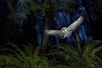 The Flight Path Barred owl about to take its prey