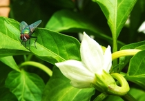 The Fly vs The Pepper Flower