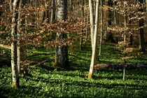 The forest in Southern Germany is carpeted with Wild Garlic Brlauch