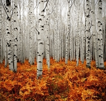 The forests of Aspen Colorado  by Chad Galloway