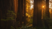 The forests of Jedediah Smith Redwood State Park California  by Ryan Dyar