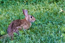 The friendly rabbit that lives in my backyard
