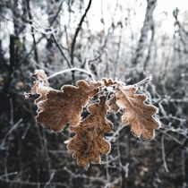 The frost is starting to form on the leaves in the nearby forest here in Germany