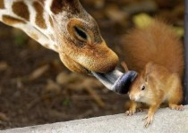The giraffe notices that the squirrel needs a bath