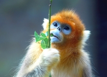 The Golden Snub Nosed Monkey