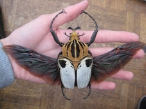 The Goliath Beetle