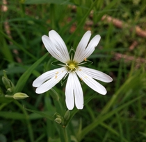 The Greater Stitchwort Stellaria holostea