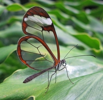 The Greta oto or Glasswing Butterfly which has a rare trait and uses transparent wings to fool predators