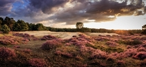 The heather fields in The Netherlands are blooming right now Drenthe NL