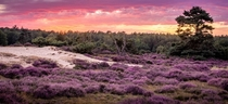 The heather is blooming in The Netherlands