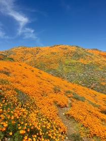 The hills are on fire with California Golden Poppies in Riverside CA  Lake Street in Lake Elsinore