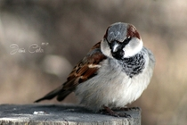 The House Sparrow Passer domesticus