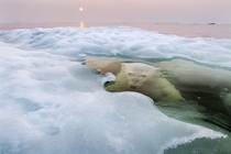 The Ice Bear  National Geographic photo of the year