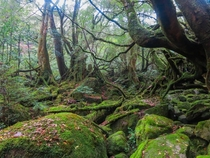 The inspiration for Princess Mononoke - Yakushima Japan