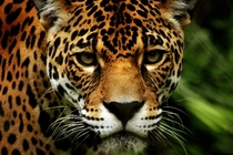 The intense stare of a jaguar Panthera onca