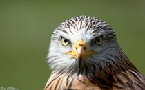 The intense stare of a Red Kite