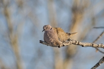 The Invader Eurasian Collared-dove