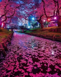 The Japanese Cherry Blossom At Night