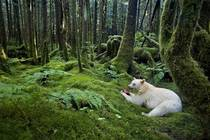 The Kermode or Spirit Bear