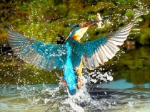 The Kingfisher Alcedo Atthis  xpost from rpics