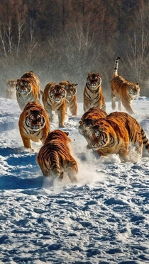 The kings of the North Imagine if Siberian tigers formed lion like prides
