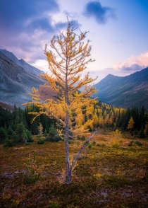 The Land if the Larch Canadian Rockies in Alberta  IG collintoews